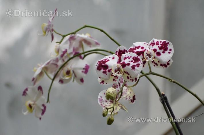 Vystava orchidei KE_42