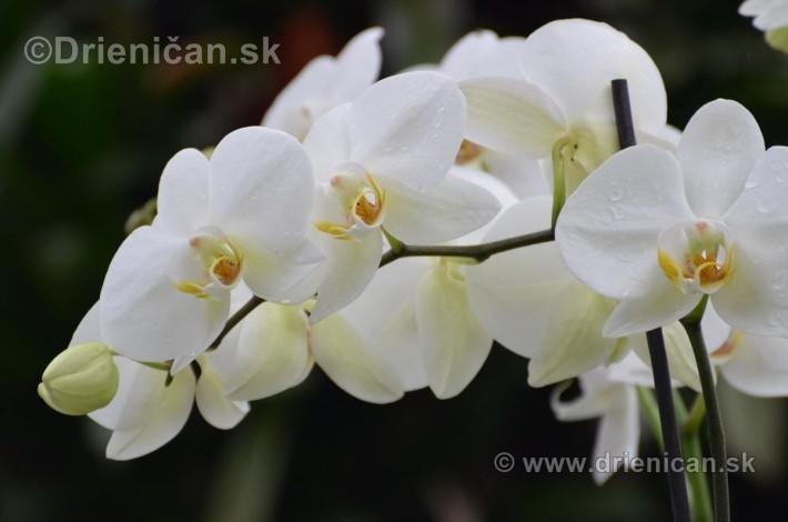 Vystava orchidei KE_46