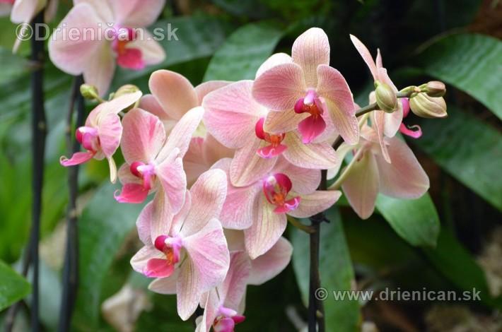 Vystava orchidei KE_47
