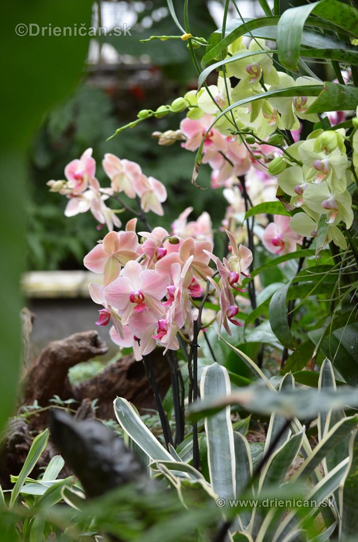 Vystava orchidei KE_50
