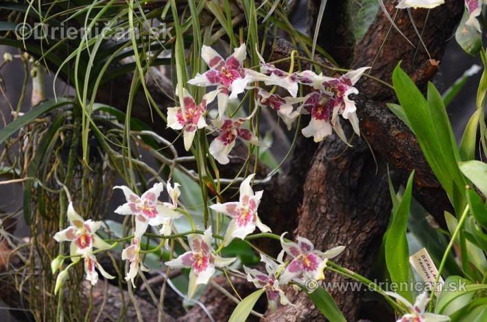 Vystava orchidei KE_65