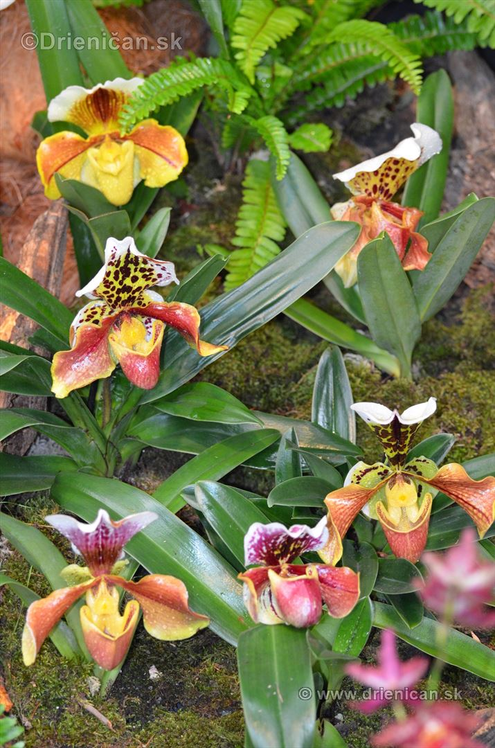 Vystava orchidei KE_66