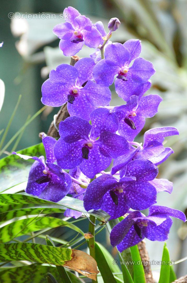 Vystava orchidei KE_67
