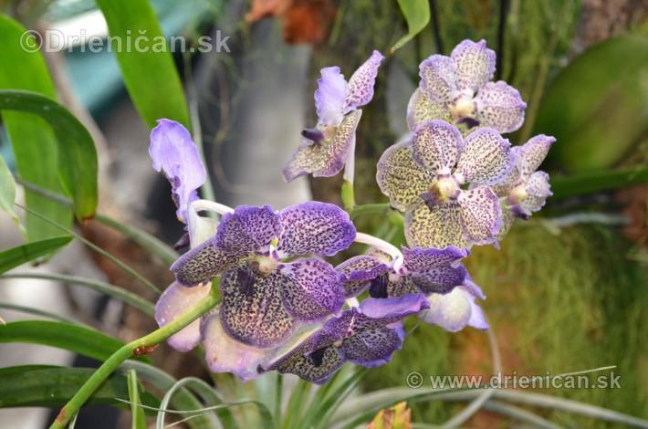 Vystava orchidei KE_69