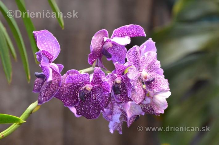 Vystava orchidei KE_73