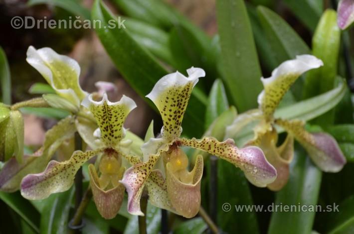 Vystava orchidei KE_75