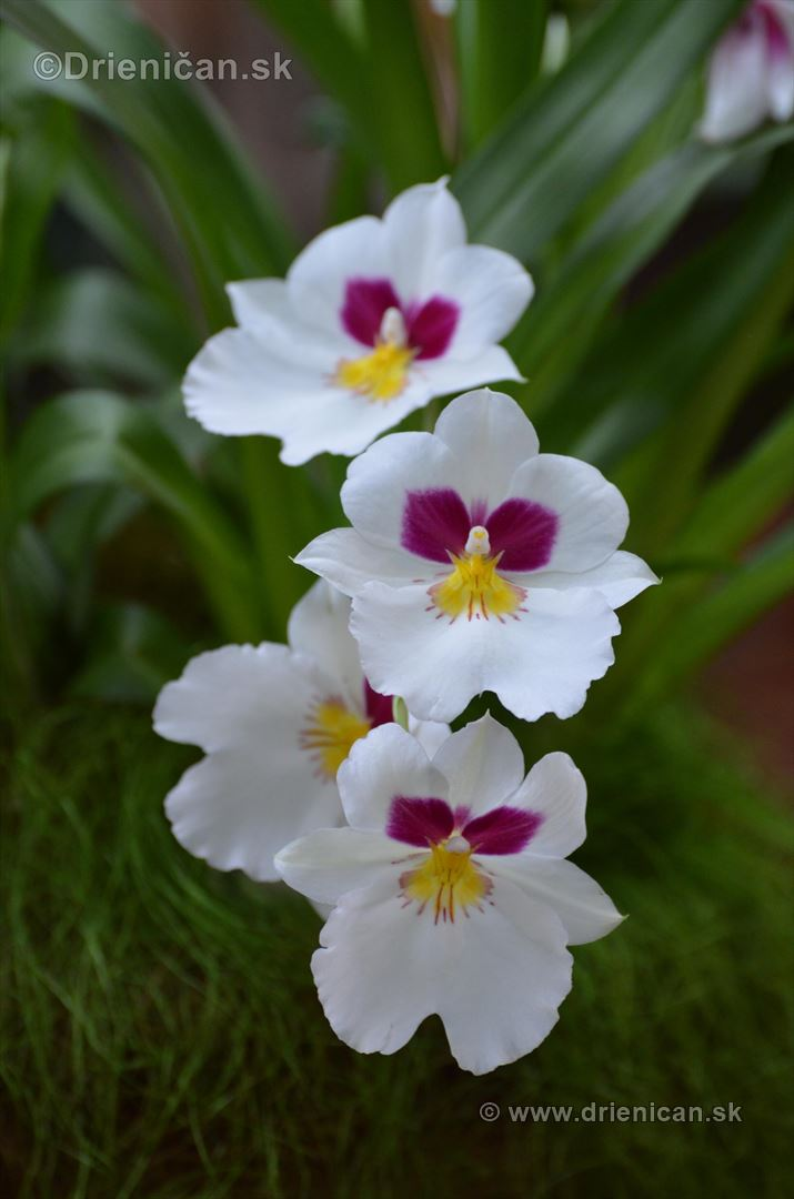 Vystava orchidei KE_79