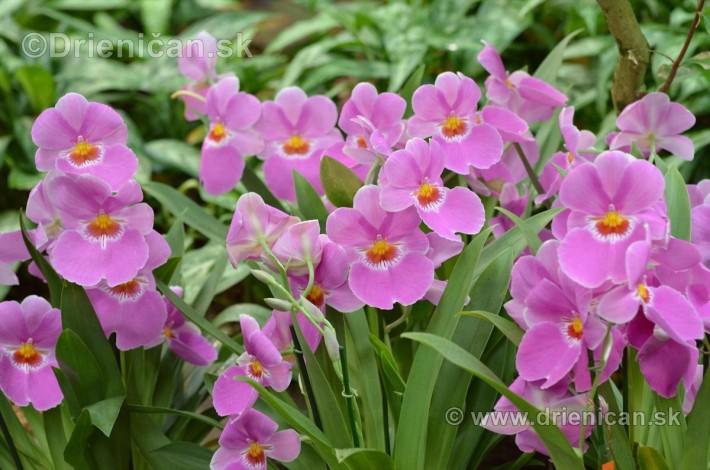Vystava orchidei KE_80