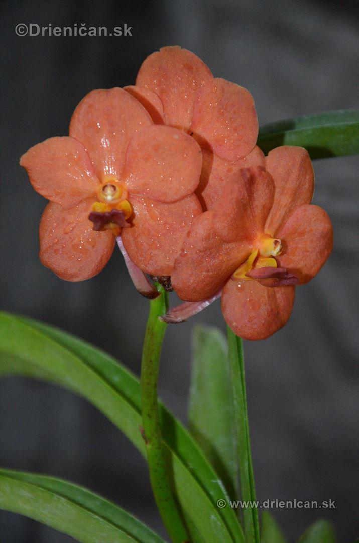 Vystava orchidei KE_87