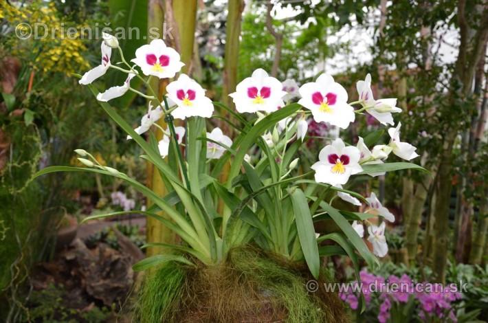 Vystava orchidei KE_88