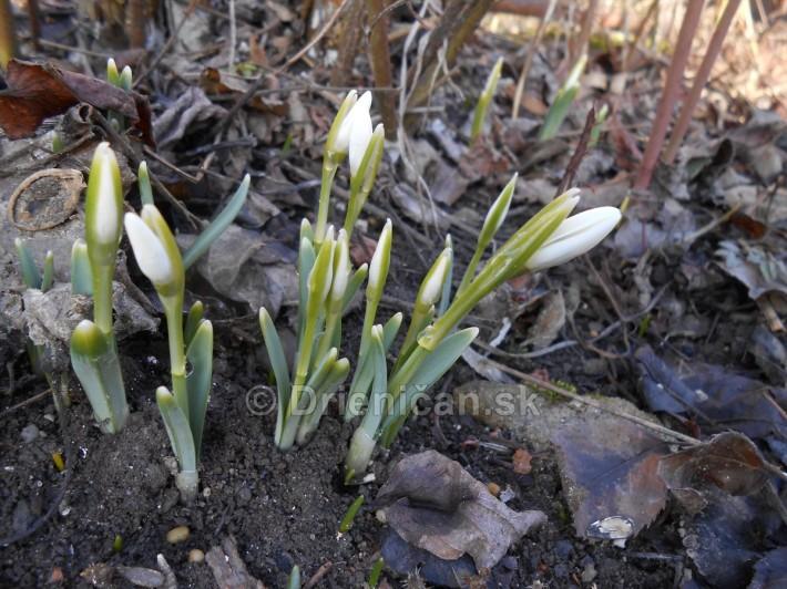 Februárové snežienky