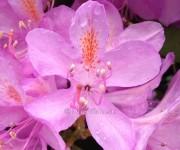 Rododendróny