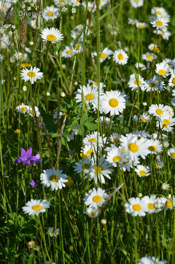 lucne kvety_12