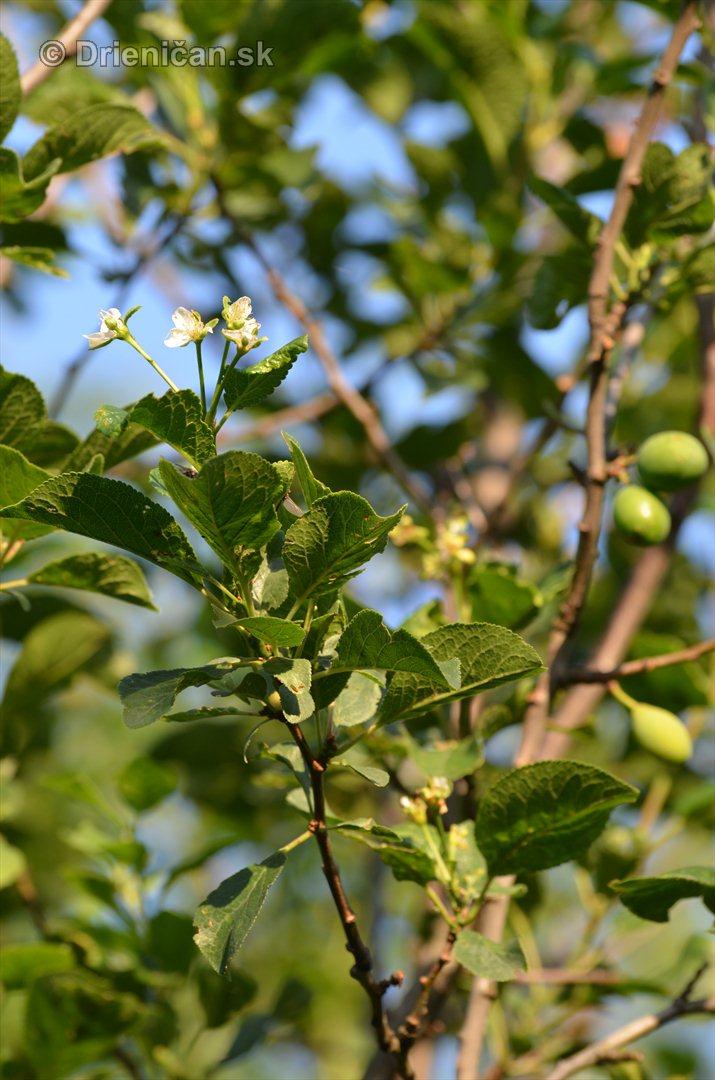 Rozkvitnute stromy v lete_1