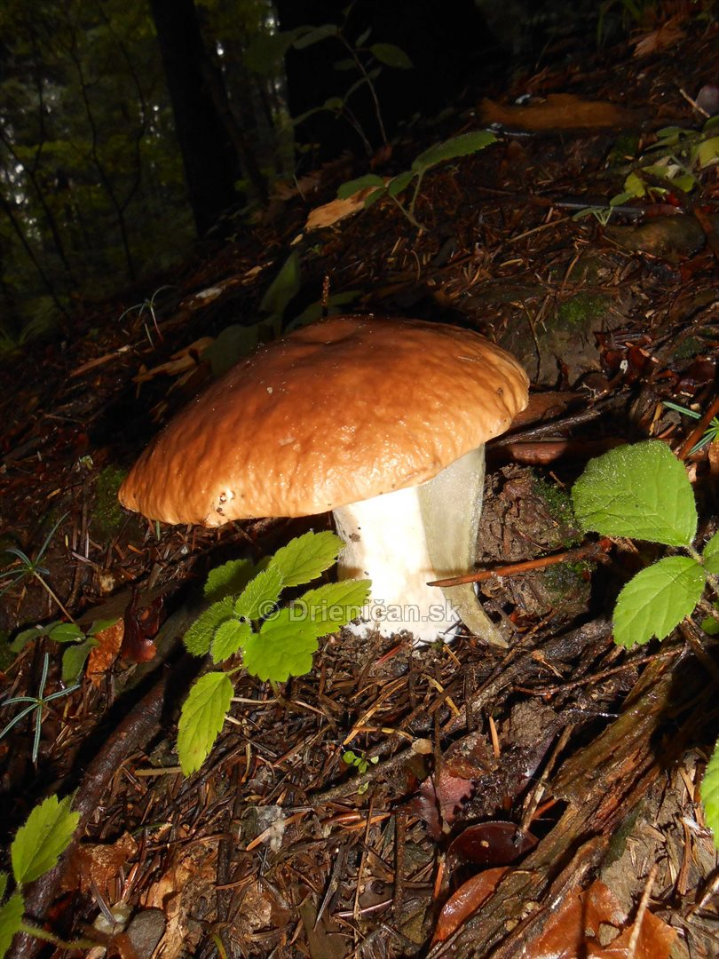 Hriby v hmlistom lese_08