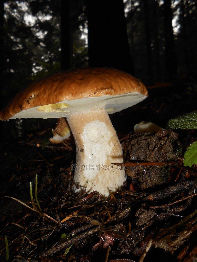Hriby v hmlistom lese_10