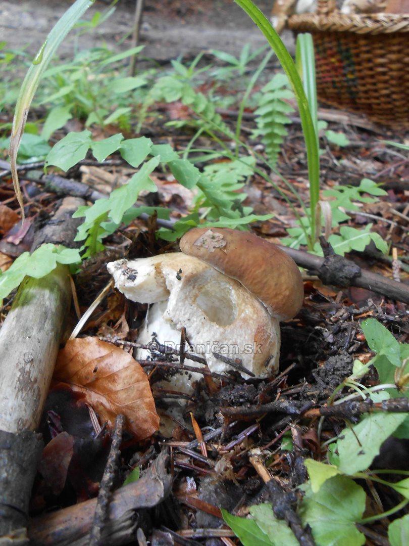 Hriby v hmlistom lese_22