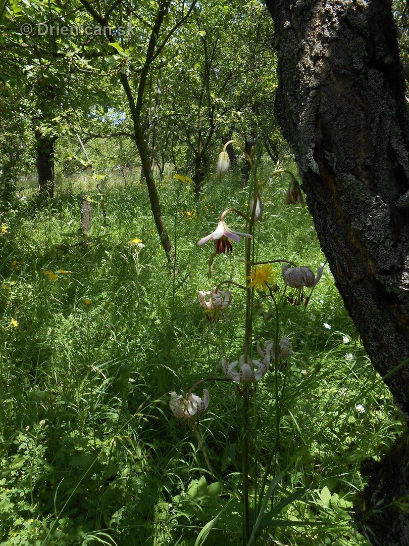 lalia zlatohlava v zahrade_7