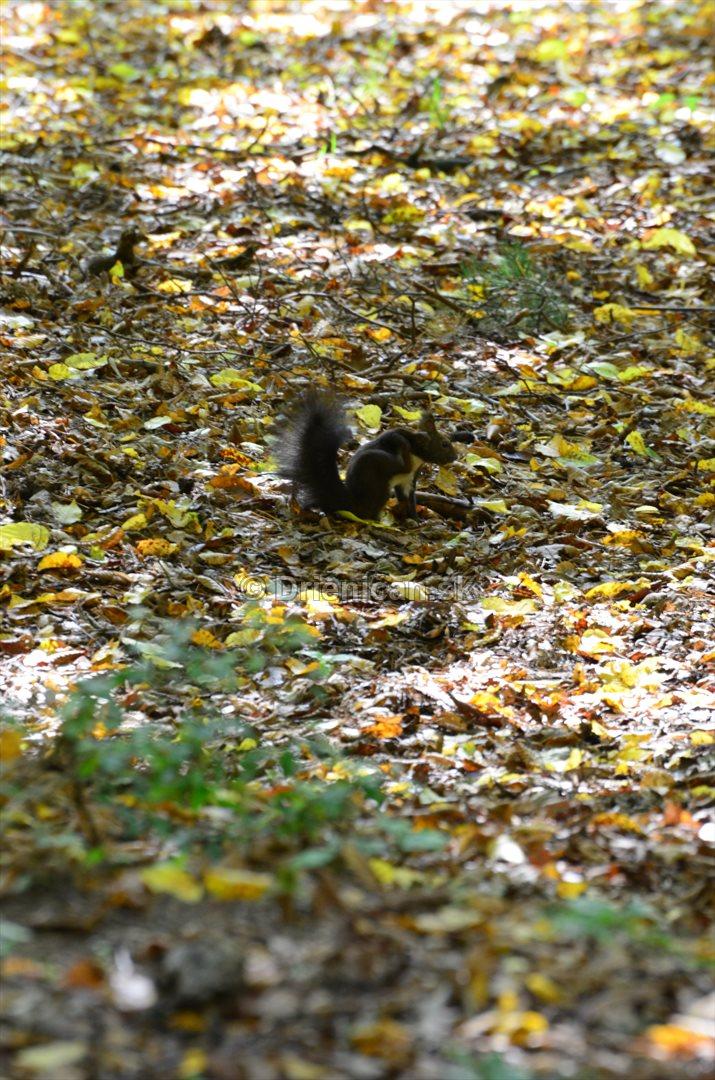 Veverica hnedá