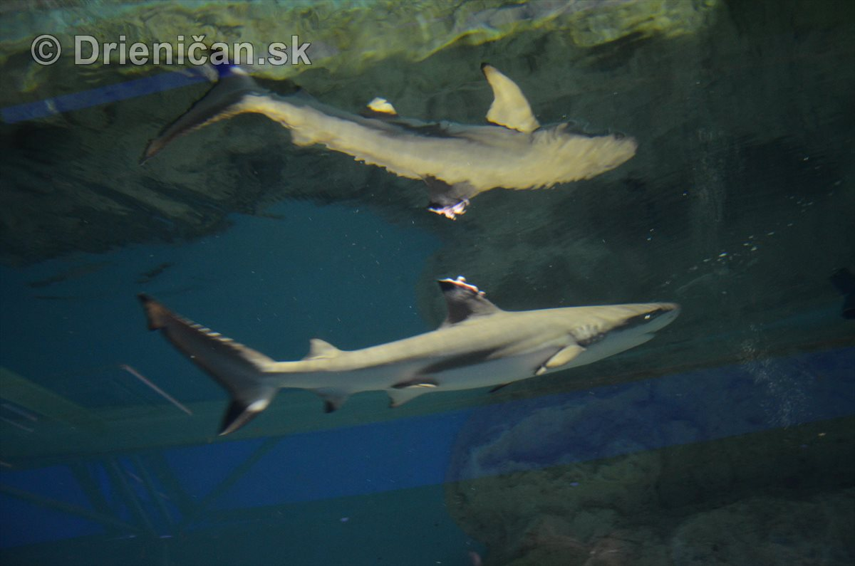 Živé žraloky v Sabinove