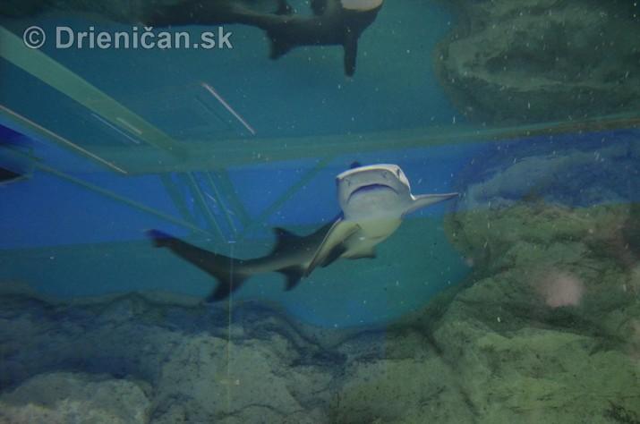 Zive zraloky v Sabinove_11