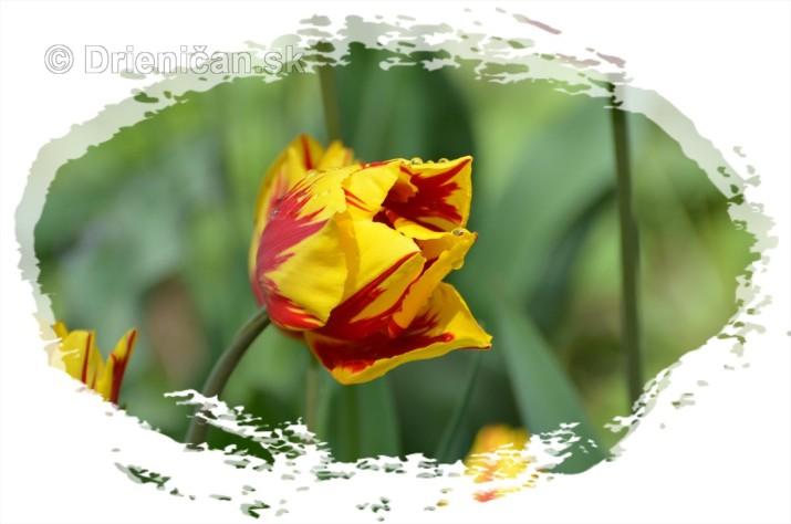 Farebny svet tulipanov_03