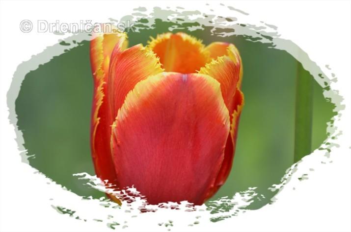 Farebny svet tulipanov_04