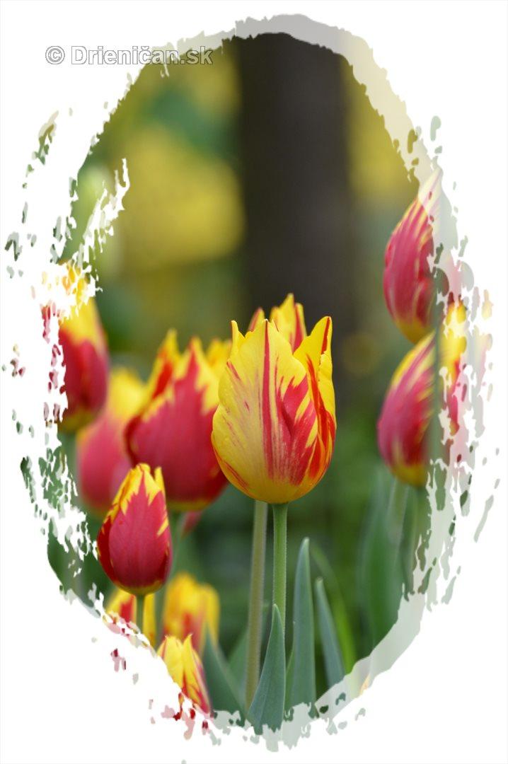 Farebny svet tulipanov_05