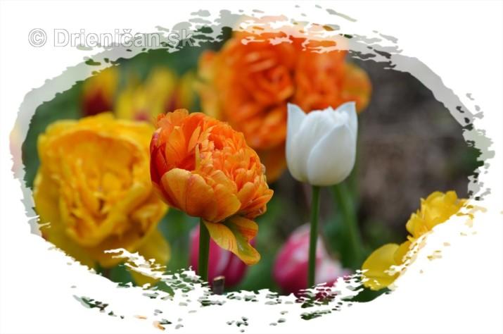 Farebny svet tulipanov_07