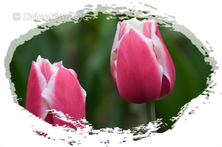 Farebny svet tulipanov_08