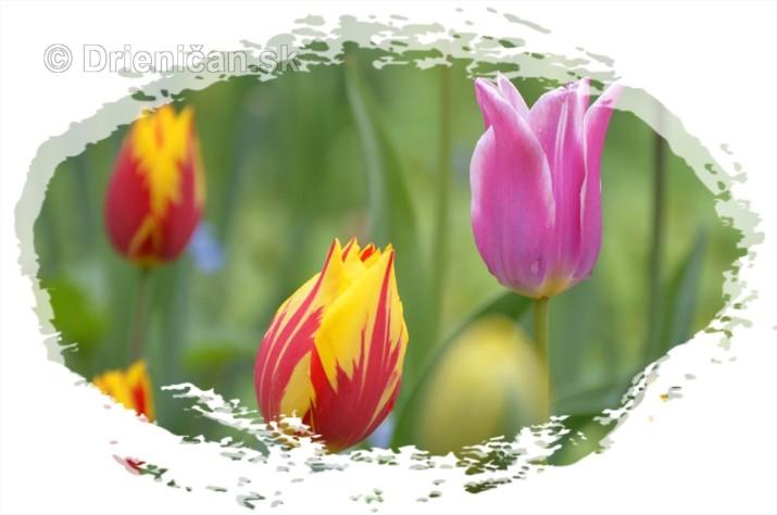 Farebny svet tulipanov_09