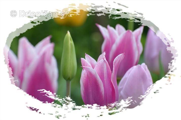 Farebny svet tulipanov_10