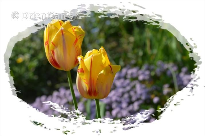 Farebny svet tulipanov_12