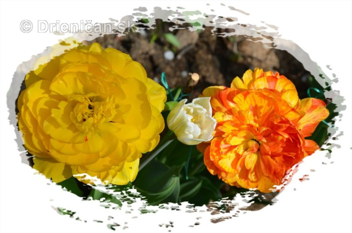 Farebny svet tulipanov_15