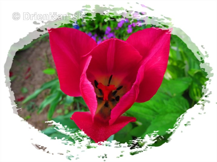 Farebny svet tulipanov_17