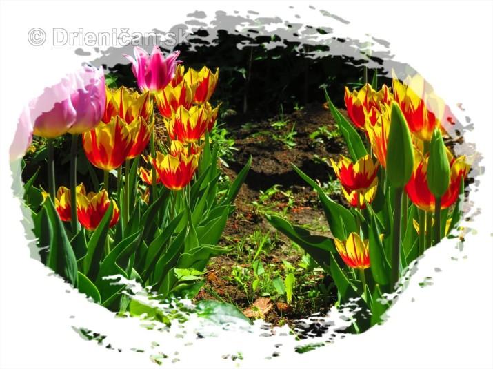Farebny svet tulipanov_20