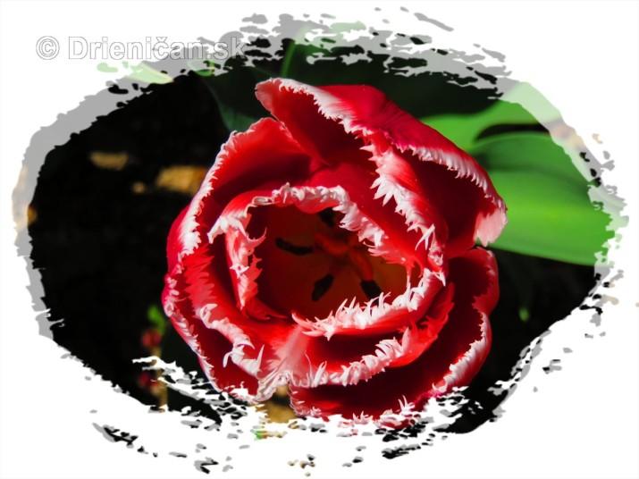 Farebny svet tulipanov_21