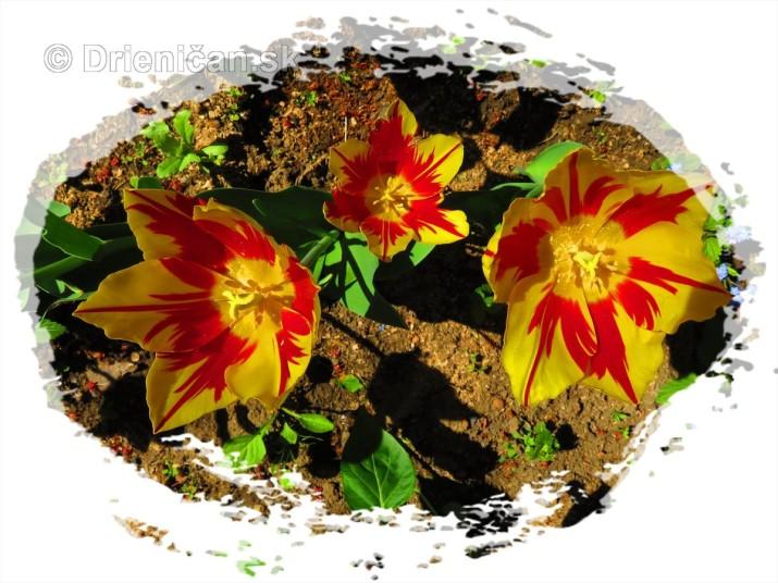 Farebny svet tulipanov_22