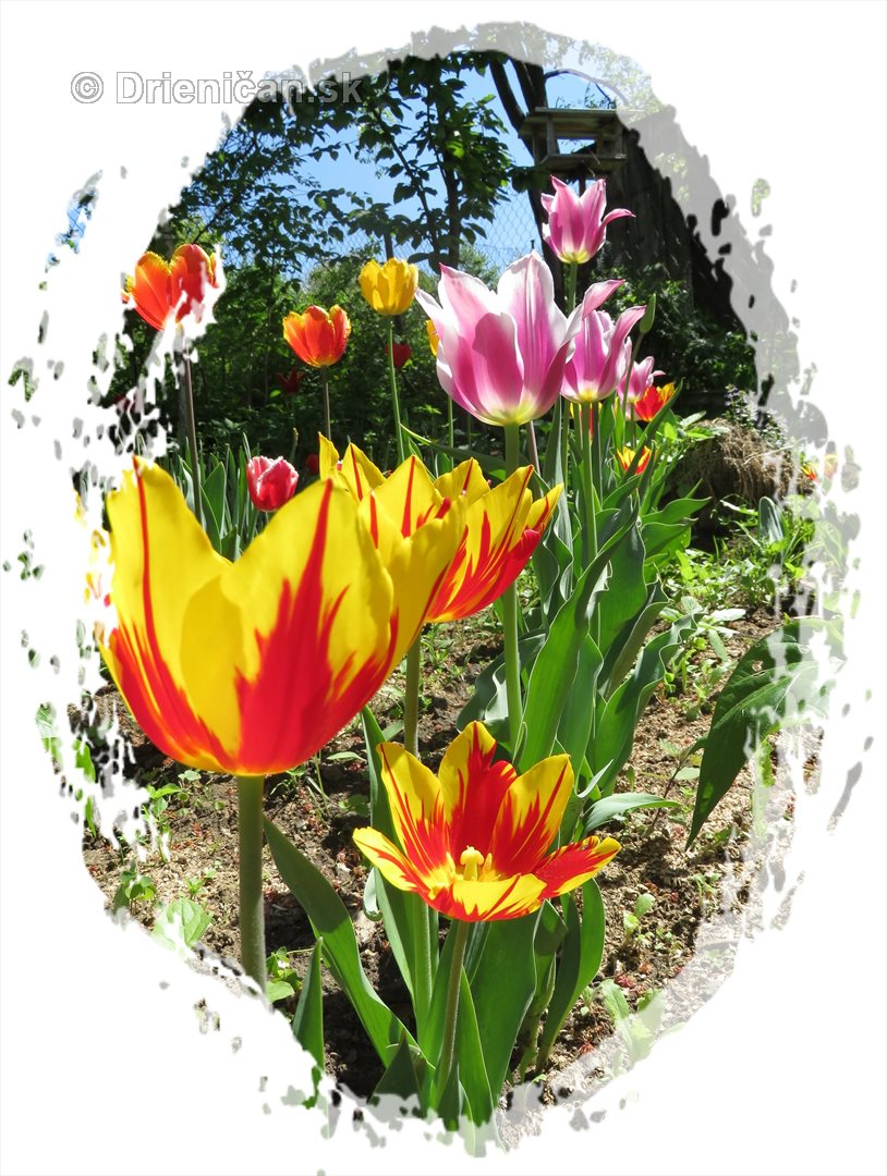 Farebny svet tulipanov_26