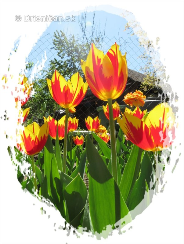 Farebny svet tulipanov_27
