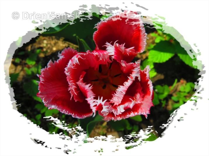 Farebny svet tulipanov_31