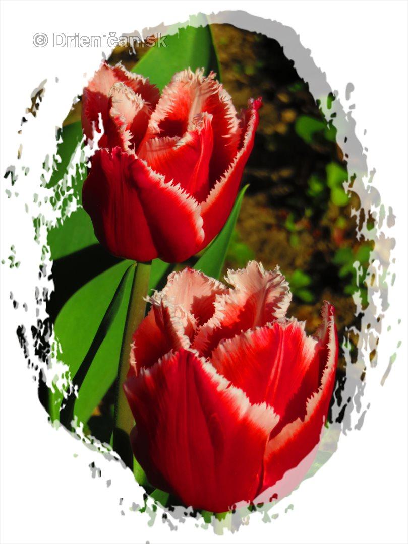 Farebny svet tulipanov_38