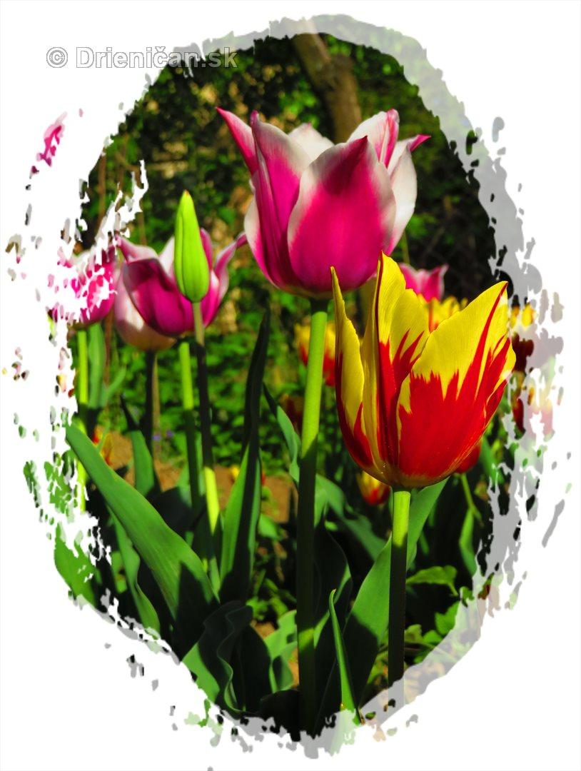 Farebny svet tulipanov_40