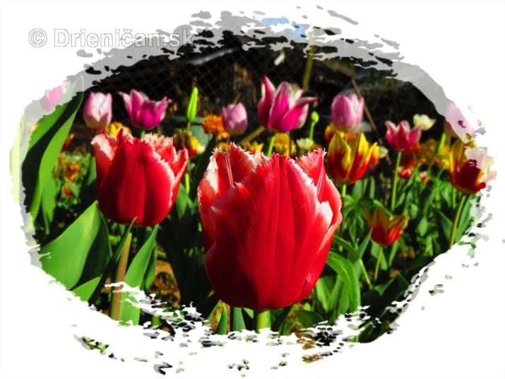 Farebny svet tulipanov_41