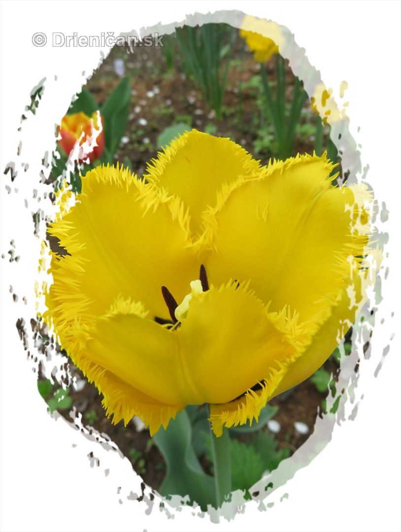 Farebny svet tulipanov_43