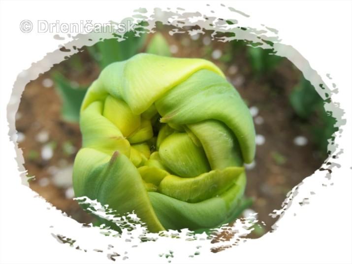 Farebny svet tulipanov_45