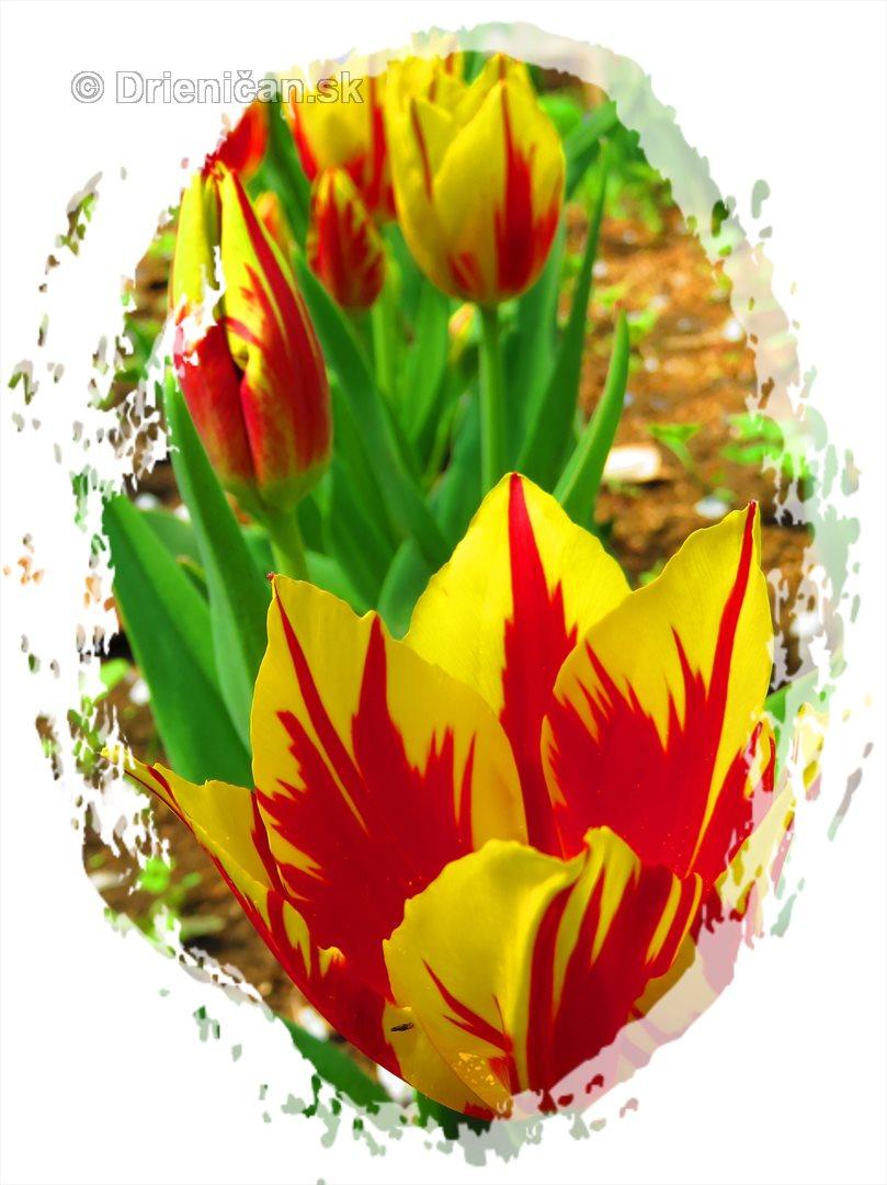 Farebny svet tulipanov_48