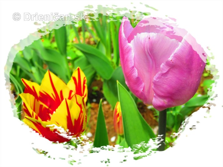 Farebny svet tulipanov_49