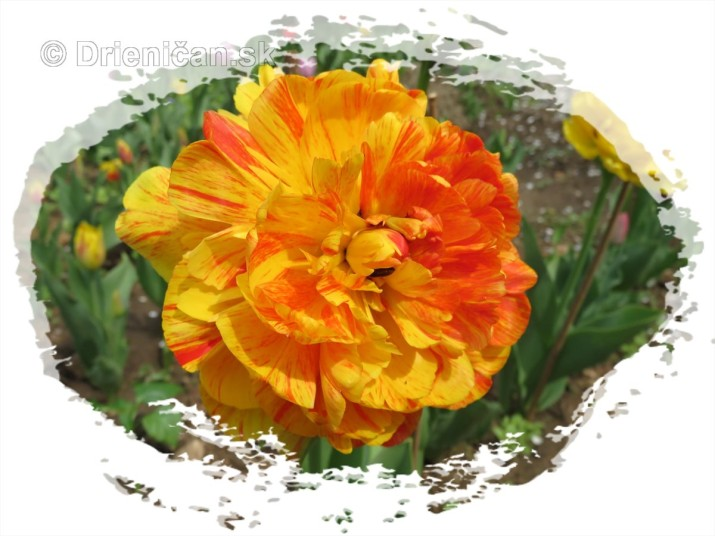 Farebny svet tulipanov_50