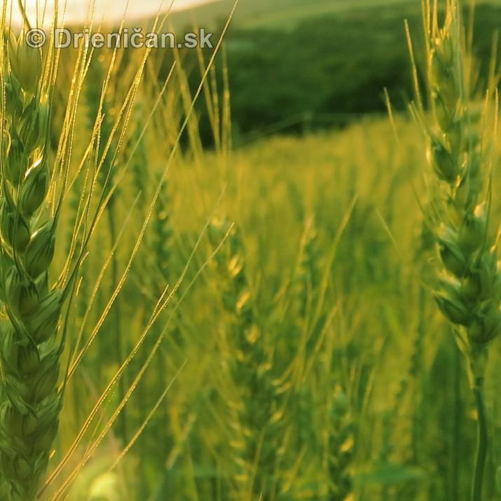 Este stale zelene rzno_16
